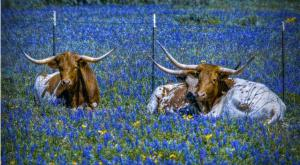 Texans Are In Love With Bluebonnets